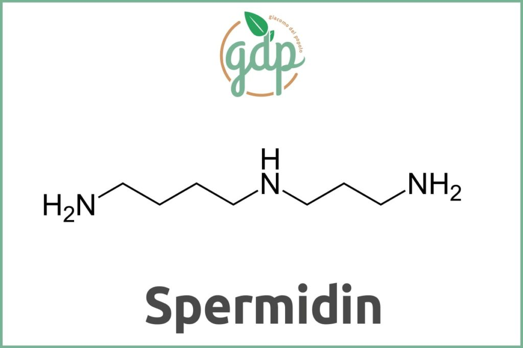Spermidine GDP Guide